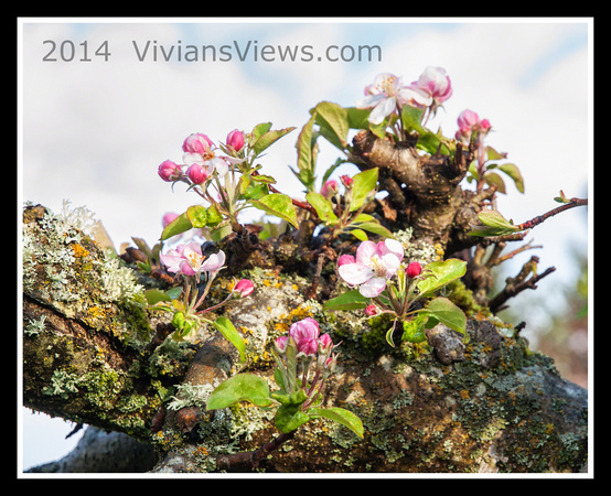 Apple Blossoms on Lichen Covered Apple Tree