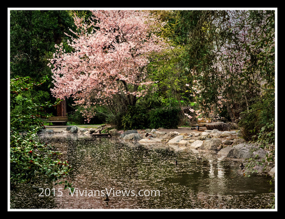 Blossoms at the Duck Pond